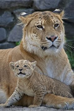 "As a rare hybrid of a lion and a tiger, female ""Liger"" Zita gave birth to (with African lion father Samson) a female ""Liliger"" cub Kiara, at the Novosibirsk Zoo in Russia in 2012."