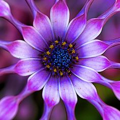 ~~ Soprano - Lilac Spoon African Daisy ~~