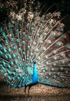 Those colors. #bird #peacock