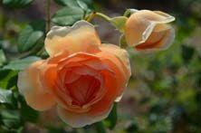 """Rosa """"Pat Austin' blooming at Lewis Ginter Botanical Garden"""