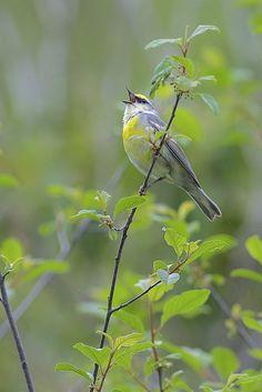 Brewster's Warbler (Blue-winged Warbler x Golden-winged Warbler hybrid), Sterling Forest, New York | by Daniel J. Field