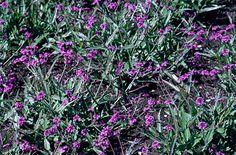 hardy garden verbena verben rigida Borde Hill dry garden