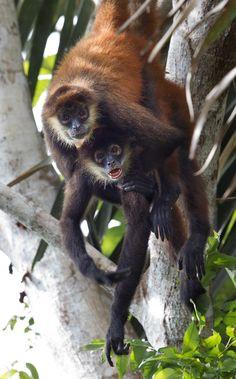 Spider Monkey, Costa Rica wildlife, Ecolodge  Eco Resort  Corcovado National Park  Osa Peninsula  Honeymoon in Costa Rica  eco lodge  www.laparios.com