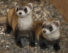 The black-footed ferret is the only ferret species native to North America. These animals were brought back from near-extinction in 1986, and now thrive (albeit in small numbers). The furry ferrets live off a diet of prairie dogs, can sleep up to 21 hours and are solitary creatures.