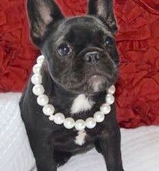 French Bulldog Princess in Pearls❤️ Puppy Cam, Puppy Pics, Puppy Pictures, Cute French Bulldog, French Bulldog Puppies, French Bulldogs, Puppies And Kitties, Pet Dogs, Dog Cat
