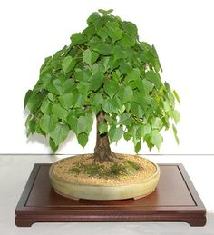 Look at those leaves! Bonsai Plants, Bonsai Garden, All Plants, Green Plants, House Plants, Bonsai Styles, Small Trees, Backyard, Buddha