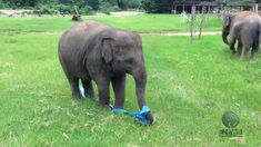 Love this it's so happy baby elephant finds a giant elastic ribbon, has the most fun ever Funny Animal Videos, Cute Funny Animals, Funny Animal Pictures, Animal Memes, Cute Baby Animals, Funny Cute, Animals And Pets, Funny Elephant Videos, Funny Pics