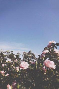 Campo de flores rosas