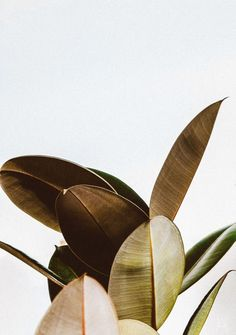 Rubber Plant (or maybe magnolia?) Love these leaves