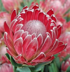 protea comes in beautiful muted pink and red and white and is great for adding an unusual and tropical touch to you winter wedding flowers. Usually available in January but not totally reliable. Protea Art, Flor Protea, Protea Flower, Cactus Flower, Tropical Flowers, Exotic Flowers, Wild Flowers, Beautiful Flowers, Lilies Flowers