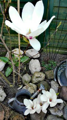 Magnolia; eind maart '17