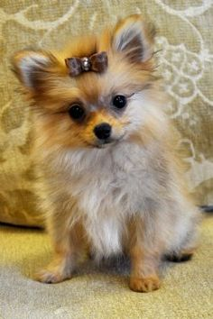 Teacup Pomeranian  Loved from afar!