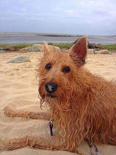 Sandy Nose, Gracie O'Malley, East Dennis, Cape Cod (irish terrier)