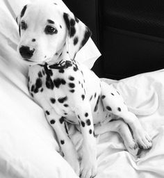 Dalmatian pup // In need of a detox? Get 10% off your teatox order using our…