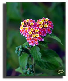 Flower Heart...I would love to have these in my garden.  I love that they smell like a tomato vine!