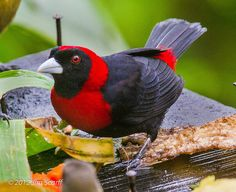 "Crimson-collared Tanager    One of my favorite tanagers. This spectacular bird is not as common as the Passerini's (""Scarlet-rumped"") tanager, and I made a special effort this year to get photos of it. Arenal Lodge, Costa Rica"