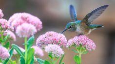 Preview wallpaper hummingbirds, birds, flowers 1920x1080