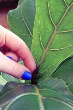 Three Ways to Encourage a Fiddle Leaf Fig to Branch: Pruning, Notching & Pinching House Plant Care, House Plants, Ficus Lyrata, Belle Plante, Fiddle Leaf Fig Tree, Inside Plants, Tree Care, Indoor Plants, Pot Plants