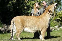 ligers - Buscar con Google