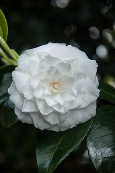 Camellia 'Elizabeth' (japonica), a sublime pure white variety. White Flowers, Beautiful Flowers, Indoor Flowering Plants, All About Plants, Royal Garden, Moon Garden, White Gardens, Shades Of White, Pure White