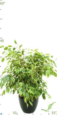 Ficus Tree Ficus Tree, Best Indoor Plants, Air Pollution, Tropical Plants, Houseplants, Herbs, Ficus, Herb, House Plants