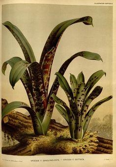 File:L'Illustration horticole (Plate 200).jpg