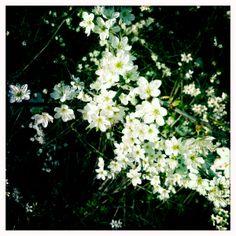 Sloe Flowers / Blackthorn Flowers on http://www.realepicurean.com