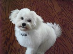 havanese haircuts pictures | Rick and Wendy, Mt. Iron, MN