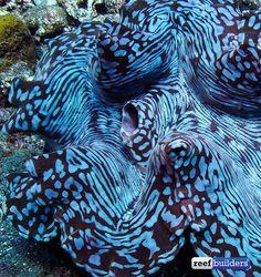 Blue squamosa clam