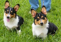 Corgis Ramon and Banjo, 6 months - gorgeous! Cardigan Welsh Corgi, Pembroke Welsh Corgi, Corgi Dog, Dog Cat, Double Trouble, Mixed Breed, More Cute, German Shepherds, Dog Photos