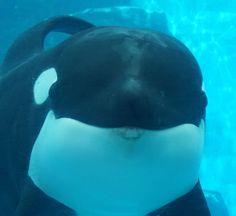 Orcas Seaworld, Seaworld Orlando, Ocean Park, Ocean Creatures, Antibes, Nagoya, Killer Whales, Sea World, Dolphins