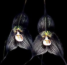Orquídea Drácula