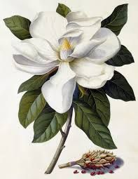 Draw Flowers Vintage Flowers, Blooming White Magnolia Blossom Cut Outs - Vintage illustration floral image featuring a large Magnolia blossom flower. Magnolia grandiflora is the state tree and flower of Mississippi. Vintage Botanical Prints, Botanical Drawings, Botanical Art, Flor Magnolia, Magnolia Flower, Blossom Flower, Flower Art, Tiare Tahiti, Plant Drawing