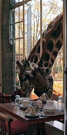 Have breakfast with a Giraffe in Kenia Nairobi at the Giraffe Manor. Vida Animal, Mundo Animal, Beautiful Creatures, Animals Beautiful, Les Seychelles, Funny Animals, Cute Animals, Baby Animals, Out Of Africa