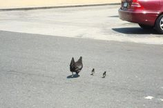 Grand Cayman - Why did the chickens cross the road?
