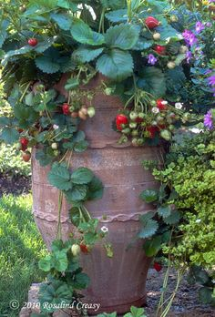 Even in the most formal garden, you can fit strawberries into your edible landscape.