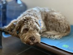 img_0057 Doodles, Board, Dogs, Animals, Animais, Animales, Animaux, Doggies, Animal