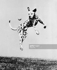 A dalmatian dog jumps to catch a ball