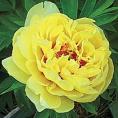 Bartzella Itoh Peony...I love peonies and this is a beautiful yellow variety!