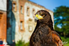 Hawk at Farnham Castle Wedding Castle Weddings, Bald Eagle, Wedding Photos, Wedding Photography, Nature, Animals, Marriage Pictures, Naturaleza, Animales