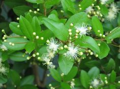 Simpson's Stopper, (Myrcianthes fragrans), Florida native plant, for butterflies and native pollinators. shrub 5 to 20 feet high. Fragrant, showy flowers and showy red fruit. Sun to partial shade. Attracts birds and pollinators.