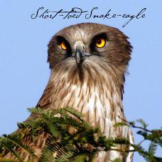 SHort toed snake eagle #GBWC #BirdConservation #birds #flyingbird #birdlive #savebird #savelife