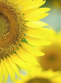 sunflower -- a sure sign of #summer!