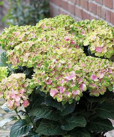 Everlasting Amethyst (Hydrangea macrophylla 'Hokomathyst') is a mophead that flowers in two colors, going from solid green to either fuchsia or blue with green edges, depending on soil pH. This reblooming variety keeps its color into the fall and its compact growth, about 4 feet high and wide, is a good choice for larger containers. Zones 5-9; Wayside Gardens