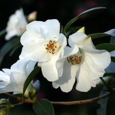 Camelia Cornish Snow It's easy to find what you're looking for with our Plant A-Z, covering everything from Cornish plants to sub-tropical specimens that love mild climates.