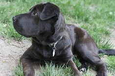 The Lab Pei is a mix of Labrador Retriever and Chinese Shar-Pei.