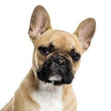Lerretsbilde - Portrait of a French Bulldog