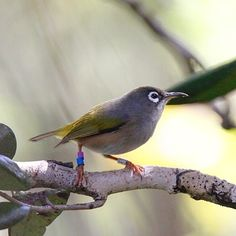Mauritius Olive White-Eye - Mauritius-Brillenvogel (Zosterops chloronothos) Another rare endemic bird of As the Pink Pigeon we could see these little guys on the Ile aux Aigrettes. Here The Mauritius Wildlife Foundation does a great job to protect endemic animals and help them to survive.  #bird #birds #birdextreme #avian_world #amazingbirds #whatschirping #birdshot #allmightybirds #birdfreaks #ornithology #birdtannica #birdlovers #vq_birds #nuts_about_birds #birdsplanet #nature_of_our_world…