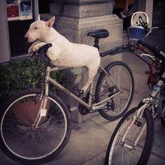 go #bully!! #bullterrier #dog