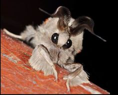 The Venezuelan Poodle Moth (le papillon caniche du Vénézuéla) Bizarre Animals, Ugly Animals, Unusual Animals, Rare Animals, Venezuelan Poodle Moth, Beautiful Creatures, Animals Beautiful, Weird Looking Animals, Cute Moth